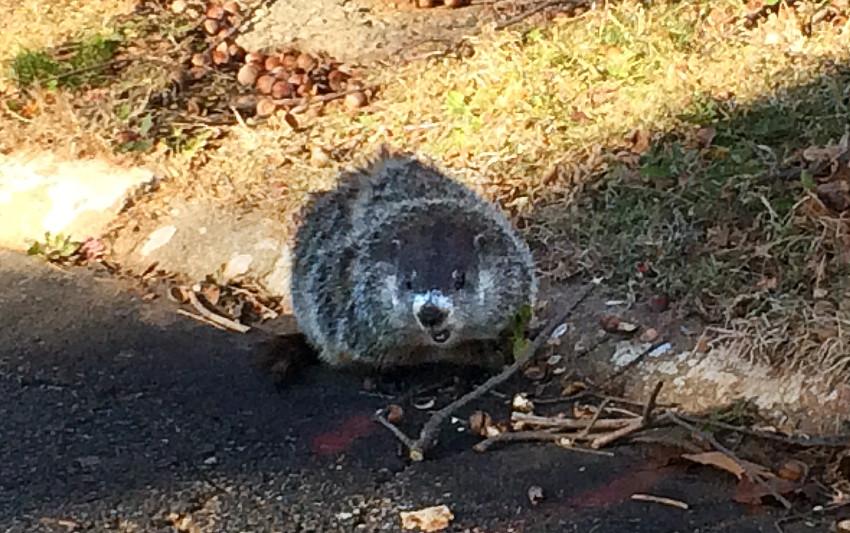 henrythegroundhog
